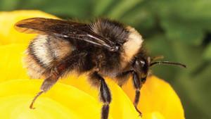 bumble-bee-thumb