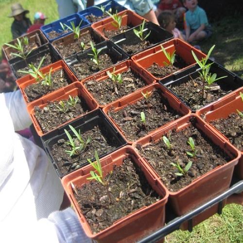Milkweed Seedlings