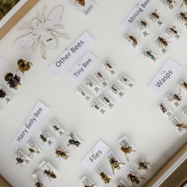 Bee identification at Doors Open Richmond