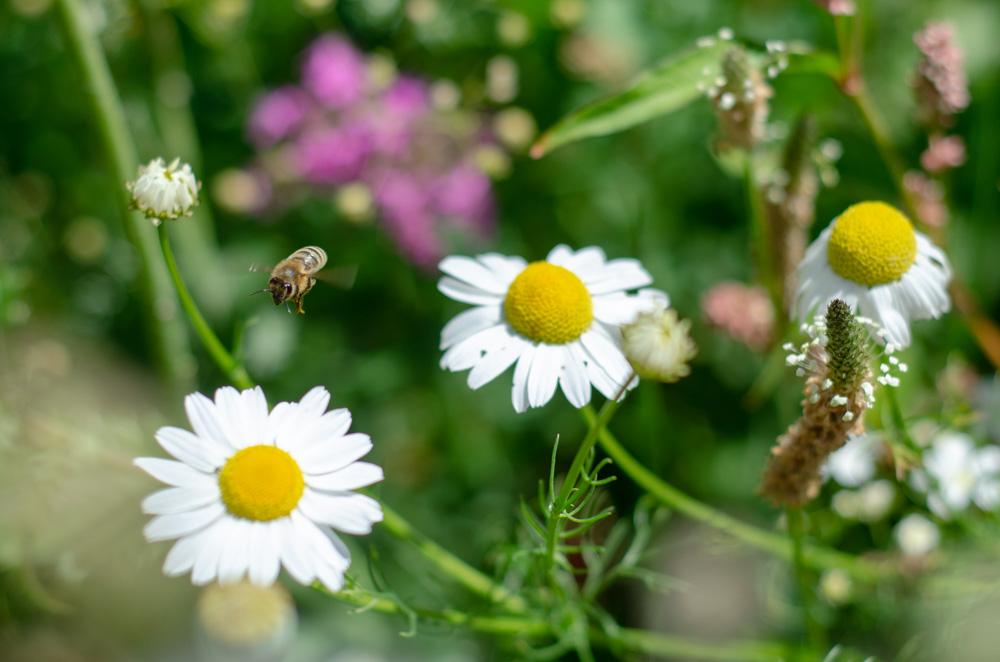 Terra Nova Pollinator Meadow